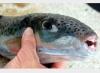 سمكة سامة