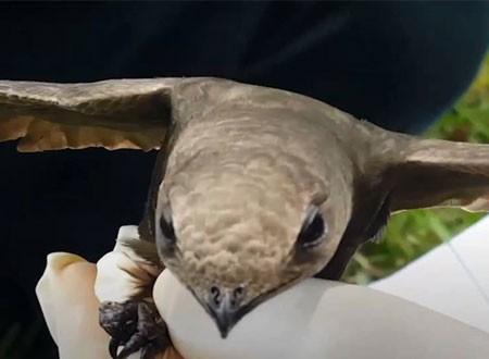 العثور على «طائر أبابيل» في الجزائر.. صور وفيديو