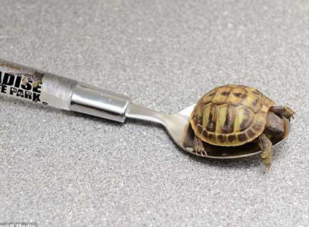 صور اصغر اشكال السلاحف فى العالم